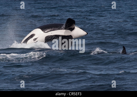 Transient Killer Whale/Orca (Orcinus orca). Large adult male breaching, Monterey, California, Pacific Ocean. - Stock Photo