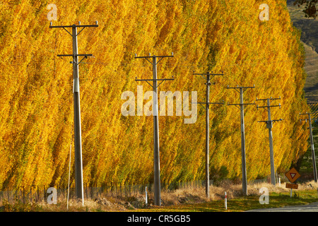 Power poles and poplar trees in autumn, Ripponvale, near Cromwell, Central Otago, South Island, New Zealand - Stock Photo