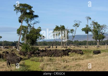 Kenya, Masai Mara National Reserve, African Buffalo or Cape Buffalo (Syncerus caffer), herd - Stock Photo