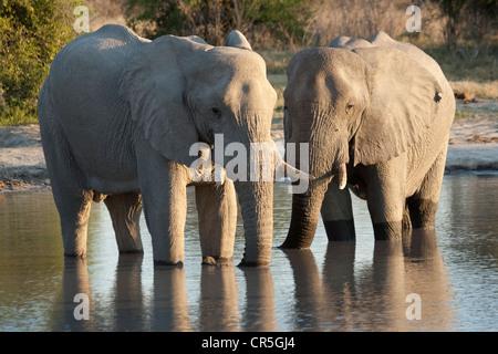 Bostwana, Chobe National Park, Savuti, African Bush Elephant (Loxodonta africana), males - Stock Photo