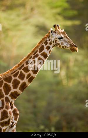 Kenya, Nakuru National Park, Rothschild giraffe (Giraffa cameleopardalis rothschildi) - Stock Photo