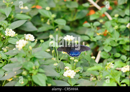 Pipevine swallowtail butterfly Battus philenor perched on Shrub Verbena flower Lantana camara These butterflies - Stock Photo