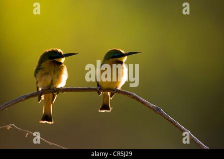 Kenya, Samburu National Reserve, White-throated Bee-eater (Merops albicollis) - Stock Photo