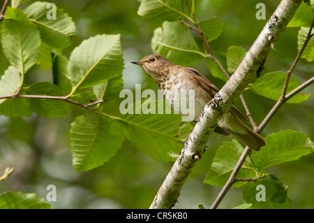 Swainson's Thrush in Port Renfrew - Stock Photo