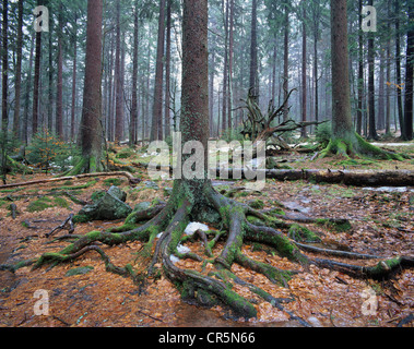 Forest with Norway spruce trees (Picea abies) and dead wood, remnants of snow, Bavarian Forest National Park, Bavaria - Stock Photo
