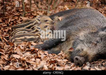 Wild Boars (Sus scrofa), sow suckling piglets, in an enclosure, North Rhine-Westphalia, Germany, Europe - Stock Photo