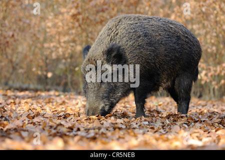 Wild boar (Sus scrofa), female, wild sow foraging, captive, North Rhine-Westphalia, Germany, Europe - Stock Photo