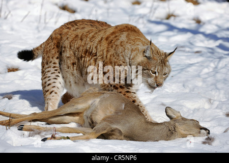 Lynx (Lynx lynx), male with prey, roe deer (Capreolus capreolus), enlosure, captive, Thuringia, Germany, Europe - Stock Photo