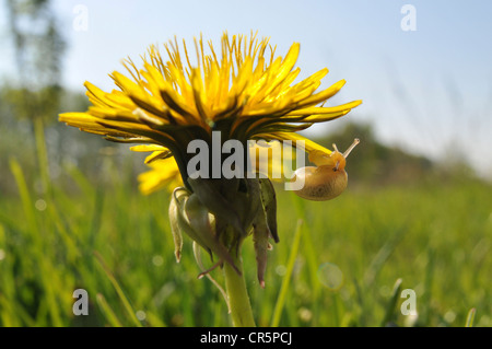 Dandelion (Taraxacum sect. Ruderalia) with a small Snail (Gastropoda) on the flower, Thuringia, Germany, Europe - Stock Photo