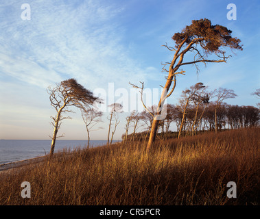 Windblown Pines (Pinus sylvestris) on the western beach of Darss Peninsula, Bodden Landscape National Park - Stock Photo
