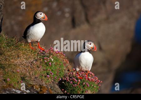 Atlantic Puffins (Fratercula arctica), Flatey island, Iceland, Europe - Stock Photo