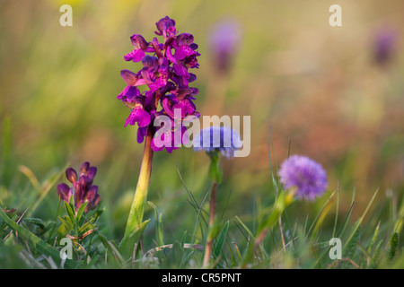 Green-winged orchid, Green-veined orchid (Orchis morio), Lake Neusiedl, Austria, Europe - Stock Photo