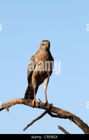 pale chanting goshawk juvenile perched - Stock Photo
