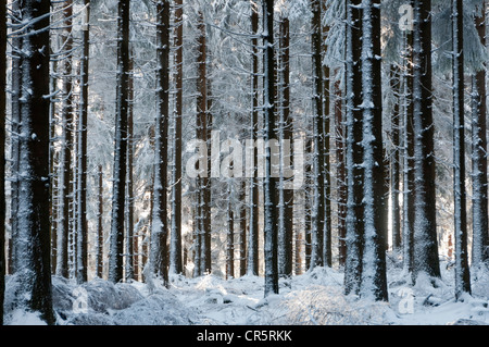 Snow-covered fir plantation on Feldberg Mountain in the Taunus Ranges, Hesse, Germany, Europe - Stock Photo
