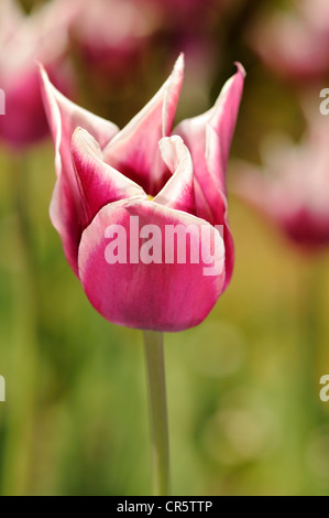 Late-flowering lily flowering tulip (Tulipa), variety Claudia, Dutch tulip - Stock Photo