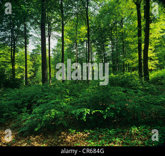 Beech forest with undergrowth, North Rhine-Westphalia, Germany, Europe - Stock Photo