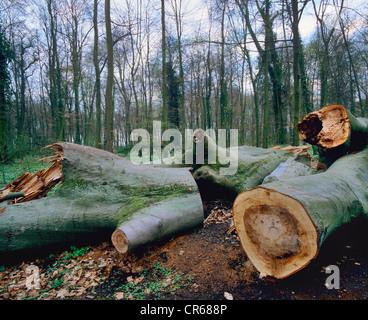 Wind breakage, cut up trunks of fallen trees, European beech, common beech (Fagus sylvatica) - Stock Photo