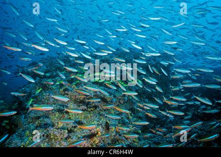Dark-banded Fusilier or Neon Fusilier (Pterocaesio tile), Maldives, Indian Ocean, Asia - Stock Photo