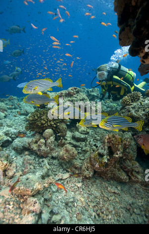 Scuba diver watching a shoal of Oriental sweetlips (Plectorhinchus vittatus), anthias at back, Maldives, Indian - Stock Photo