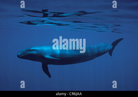 Melon-headed Whale (Peponocephala electra), Maldives, Indian Ocean, Asia - Stock Photo