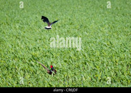 Northern Lapwing (Vanellus vanellus) is protecting its chick from a Common Pheasant (Phasianus colchicus). - Stock Photo