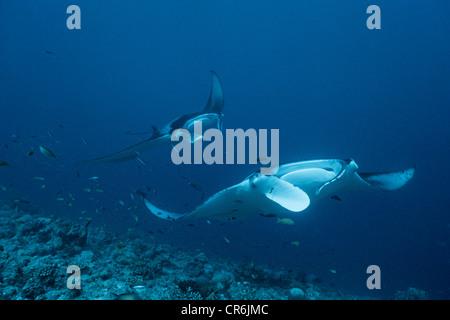 Two Manta Rays (Manta birostris), Ari Atoll, Maldives, Indian Ocean, Asia - Stock Photo