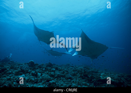 A group of manta rays (Manta birostris), Ari Atoll, Maldives, Indian Ocean, Asia - Stock Photo