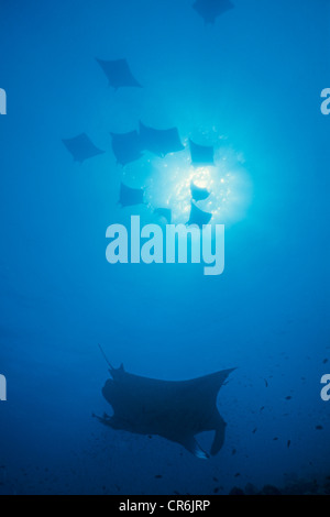 A group of manta rays (Manta birostris), backlit, Ari Atoll, Maldives, Indian Ocean, Asia - Stock Photo