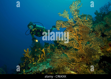 Scuba diver in a Caribbean coral reef, deep water gorgonias, sea fans (Gorgonia), Cozumel, Mexico, Caribbean - Stock Photo