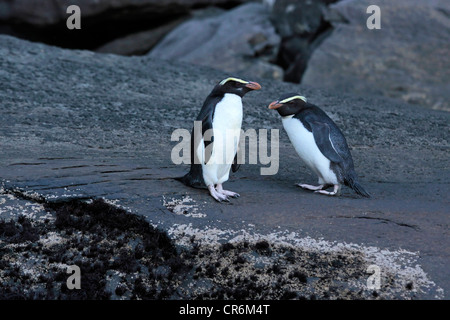 Fiordland Crested Penguin (Eudyptes pachyrhynchus) at the Milford Sound, Southland, South island, New Zealand - Stock Photo