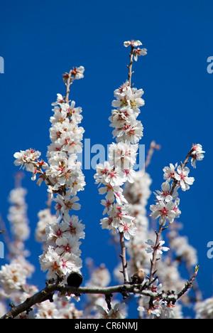 Almond blossoms (Prunus dulcis) near Alaro, Serra de Tramuntana, Majorca, Balearic Islands, Spain, Europe - Stock Photo