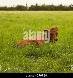 Young cow or Calf in the field. Devon, England, United Kingdom. - Stock Photo