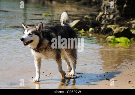 alaskan malamute 7 months old playing in the sea cooling off from the heat of a summers day - Stock Photo