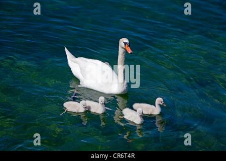 Mute Swan (Cygnus olor) with chicks on the shore of Garda, Lake Garda, Verona Province, Veneto, Italy, Europe - Stock Photo