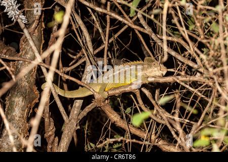 Panther Chameleon (Furcifer pardalis), Berenty, Madagascar - Stock Photo