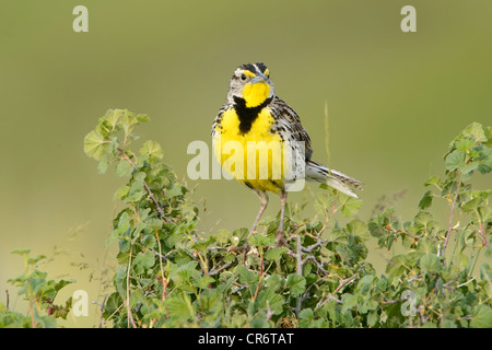 Male Western Meadowlark (Sturnella neglecta), Western Montana - Stock Photo