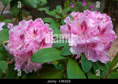 Azaleas (Rhododendron) in the gardens of Villa Ephrussi de Rothschild, , Var, Cote d'Azur, Southern France, France, - Stock Photo