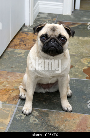 A one year old fawn coloured Chinese pug dog sitting on slate tile. - Stock Photo