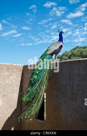 Indian peafowl, blue peafowl (Pavo cristatus), citadel of , Var department, French Riviera, Southern France, France, - Stock Photo