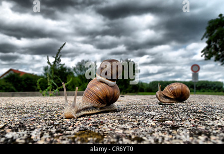 Burgundy snails (Helix pomatia) on dirt road, Erfurt, Thuringia, Germany, Europe, - Stock Photo
