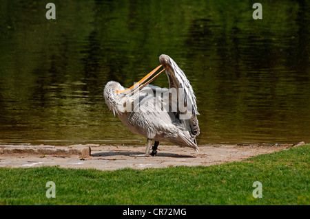Dalmatian Pelican (Pelecanus crispus) preening on the shore, Nuremberg Zoo, Am Tiergarten 30, Nuremberg, Middle - Stock Photo