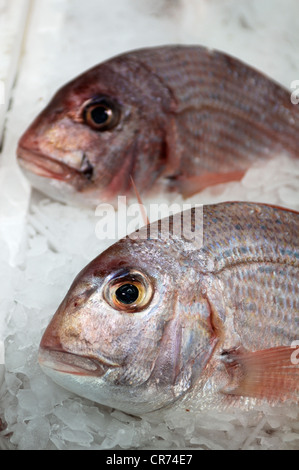 Sea bream (Sparus aurata), on ice - Stock Photo