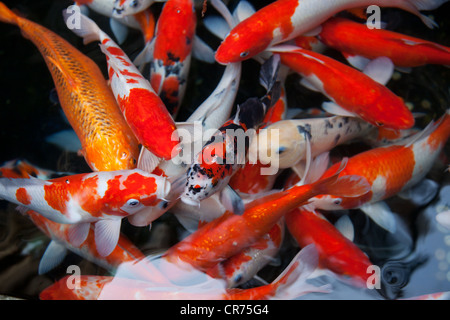 Bright colorful Koi Fishes in Taiwan - Stock Photo