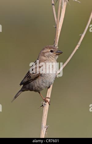 Spanish Sparrow (Passer hispaniolensis) or House Sparrow (Passer domesticus) - Stock Photo