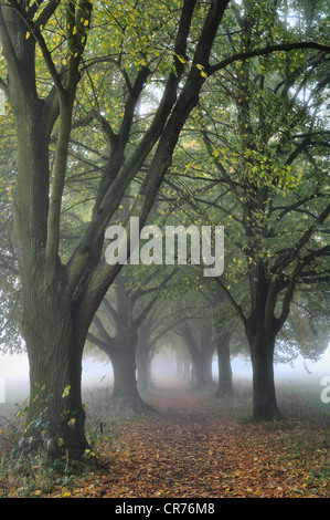 Large-leaved Linden (Tilia platyphyllos), tree-lined avenue in autumn - Stock Photo