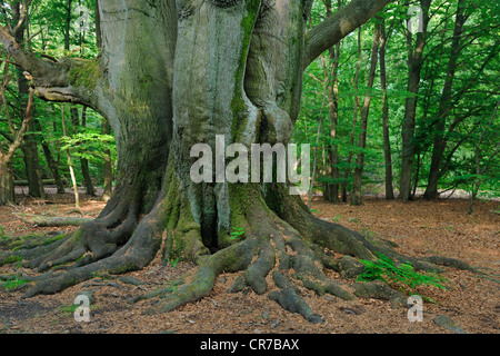 Mossy trunk of an old Beech (Fagus) tree, ancient forest of Sababurg, Hesse, Germany, Europe - Stock Photo