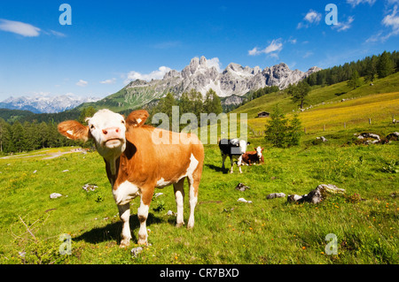 Austria, Salzburg County, Cows on alpine pasture in front of Mount Bischofsmutze - Stock Photo