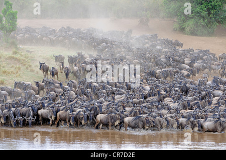Blue or Common Wildebeest (Connochaetes taurinus), wildebeest migration, jostling for positions on the shore of - Stock Photo