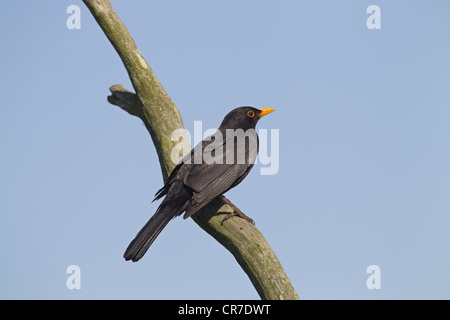 Blackbird Turdus merula male on branch with sky background - Stock Photo