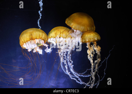 Pacific Sea Nettles (Chrysaora fuscescens), San Francisco, California, USA - Stock Photo